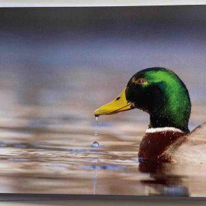 Art Card – Mallard Duck – Brooklands Lane