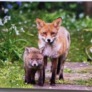 Art Card – Urban Fox Family – Sompting