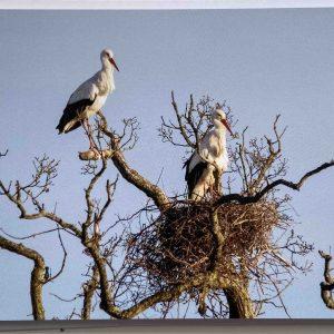 Art Card – White Storks – Knepp Castle