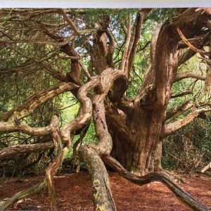 Art Card – Ancient Yew Tree – Kingley Vale