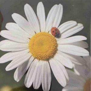 Art Card – Ladybird
