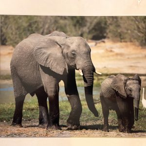 Mounted Prints – Baby & Parent Elephant (CP)